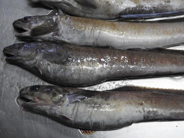 Rzadki gatunek ryb został wyrzucony przez Bałtyk. Zaniepokojeni turyści wezwali ekspertów