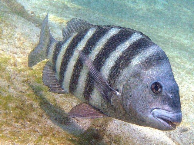 Ryba z ludzkimi zębami to nie efekt programów graficznych. Możesz ją złowić w wielu miejscach