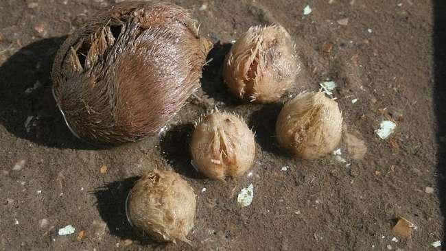 Zapewne nie mieliście jeszcze okazji podziwiać morskich ziemniaków wyrzuconych na brzeg