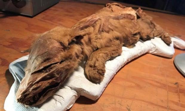 Znaleziono szczątki renifera i wilka z epoki lodowcowej. Poziom zachowania jest spektakularny!