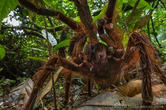 Ptasznik goliat to największy pająk na Ziemi. Nazwa bez wątpienia adekwatna do wyglądu