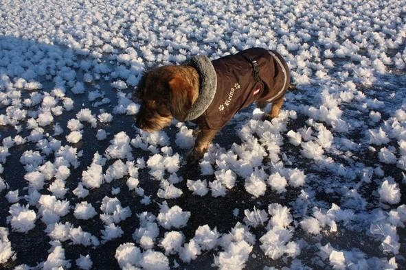 """Widzieliście kiedyś """"lodowe kwiaty""""? Obecne warunki sprzyjają ich powstawaniu"""