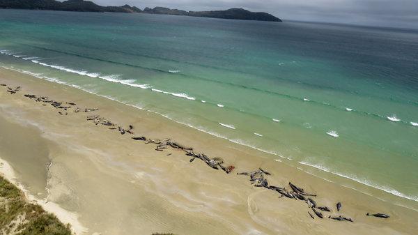 Morze wyrzuciło na brzeg 140 wielorybów. To jedno z największych masowych wyginięć morskich ssaków
