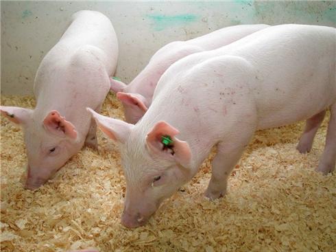 Pawianowi przeszczepiono świńskie serce. Zwierzę przeżyło ponad pół roku w doskonałym zdrowiu