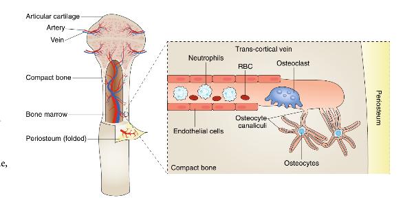 Naukowcy zidentyfikowali nowy typ naczyń krwionośnych, który znajduje się w naszych kościach