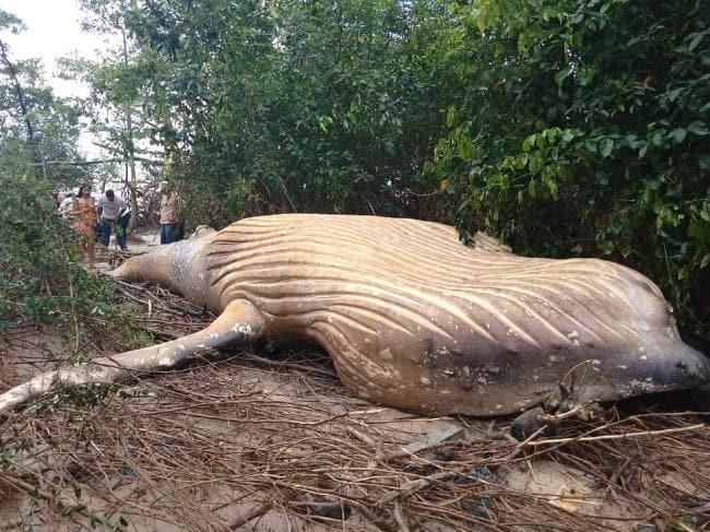 Martwy waleń został znaleziony na skraju amazońskiej dżungli. Na tym nie koniec osobliwości