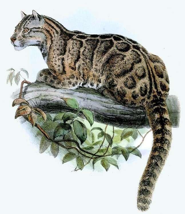 Pantera mglista została zauważona na Tajwanie. Gatunek przez wiele lat był uważany za wymarły
