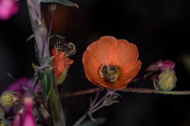 pszczoły śpiące w kwiatach