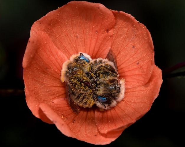 Istnieje gatunek pszczoły, który ucina sobie drzemki w kwiatach. Bez wątpienia skradną ci serce