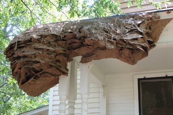 Inwazja os w Alabamie. Niektóre gniazda osiągnęły rozmiary samochodu osobowego