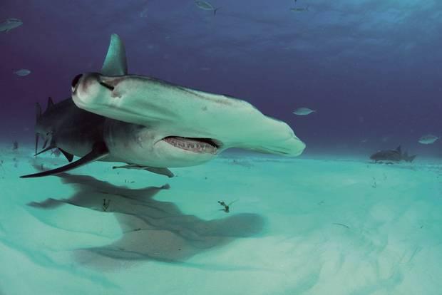 Na wybrzeżu Irlandii zauważono głowomłota pospolitego. Rekiny należą do rzadkości w tych rejonach