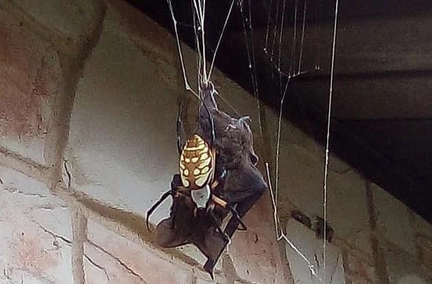 Gigantyczny pająk bananowy złapał nietoperza w swoją sieć. Groza miesza się z fascynacją