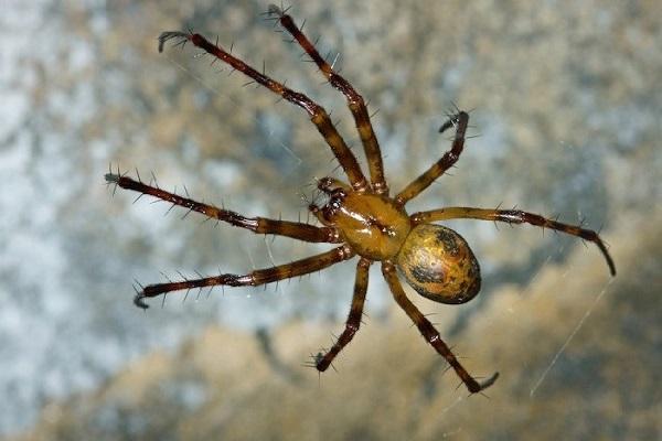 Jadowite pająki w Polsce. Gdzie można je znaleźć i których gatunków lepiej unikać?