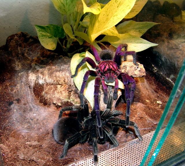 Pamphobeteus nigricolor to najpiękniej ubarwiony pająk. Zdecydowanie zachwyca kolorami