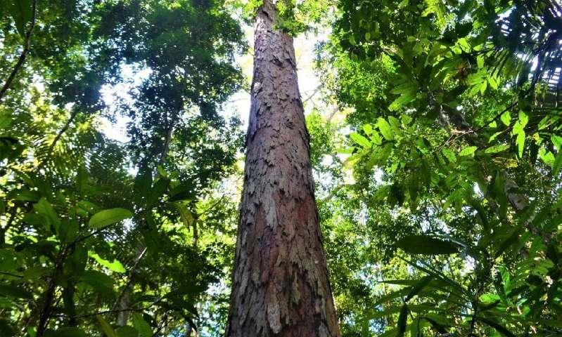 najwyższe drzewo Amazonii
