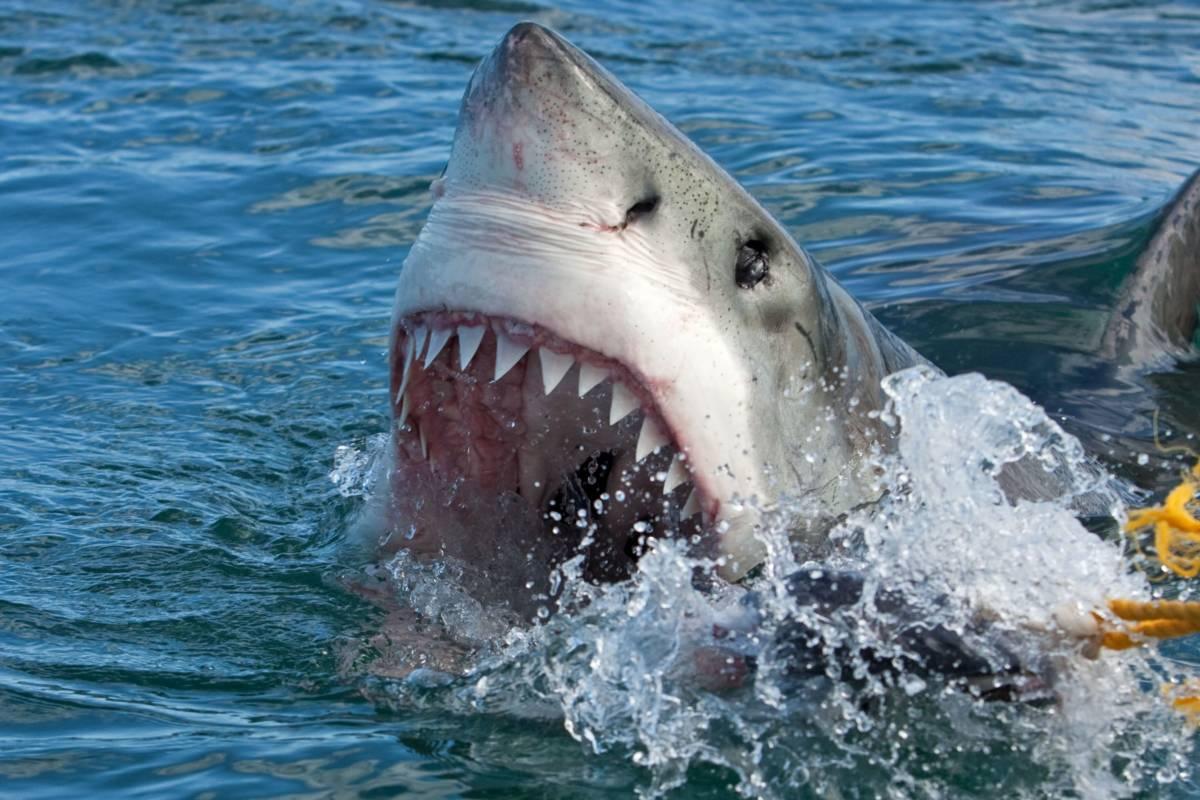 żarłacze białe
