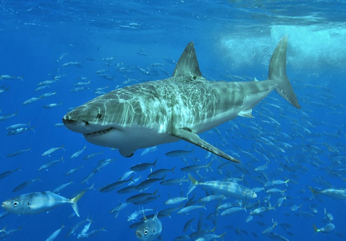 Żarłacze białe mają skłonności do kanibalizmu. Nagranie brutalnej walki mrozi krew w żyłach