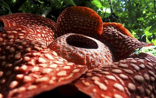 Bukietnica z gatunku Rafflesia