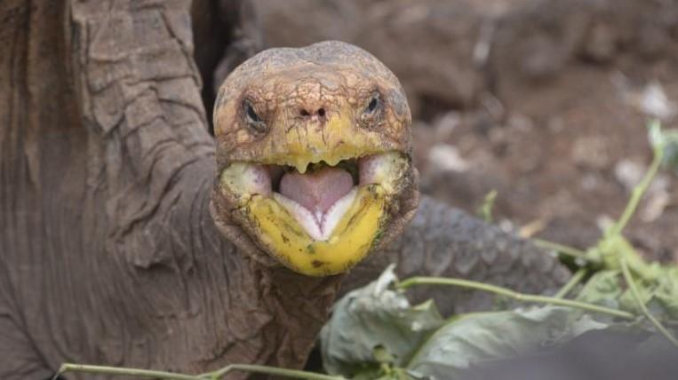 Żółw Diego pomógł ocalić swój gatunek. Teraz, po prawie 80 latach w niewoli, powróci do domu