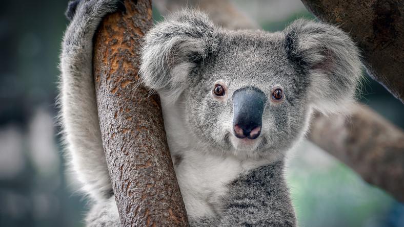 dźwięki które wydają koale