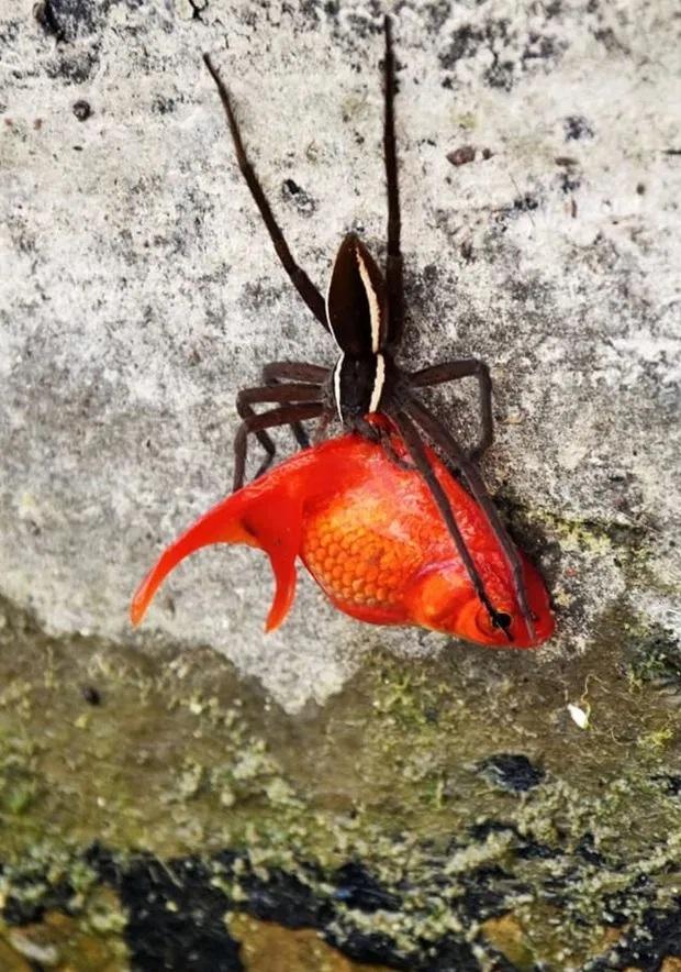 Właściciel złotej rybki odkrył, że jego pupil został porwany przez pająka. Naprawdę osobliwa scena