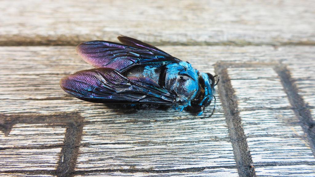 niebieskie pszczoły