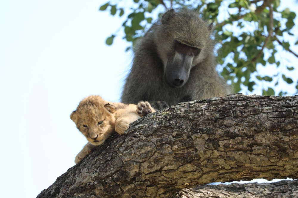 Pawian uciekł z małym lwiątkiem. Niespodziewane zachowanie zostało uchwycone na zdjęciach