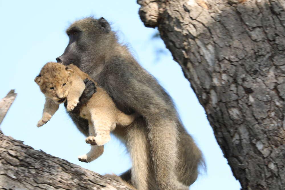 pawian uciekł z małym lwiątkiem