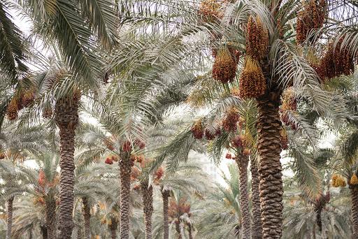 Legendarne drzewo owocowe uprawiane w starożytności zostało wyhodowane z 2000-letnich nasion