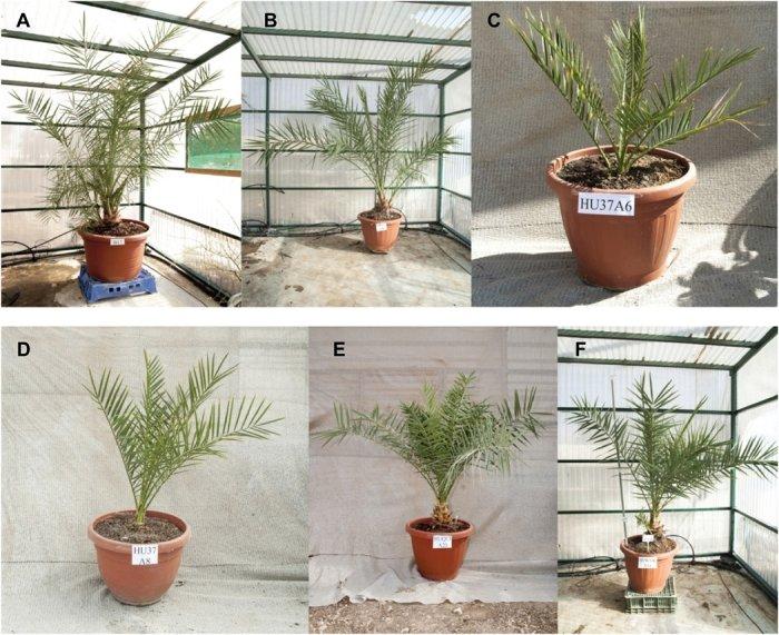 nasiona palmy daktylowej