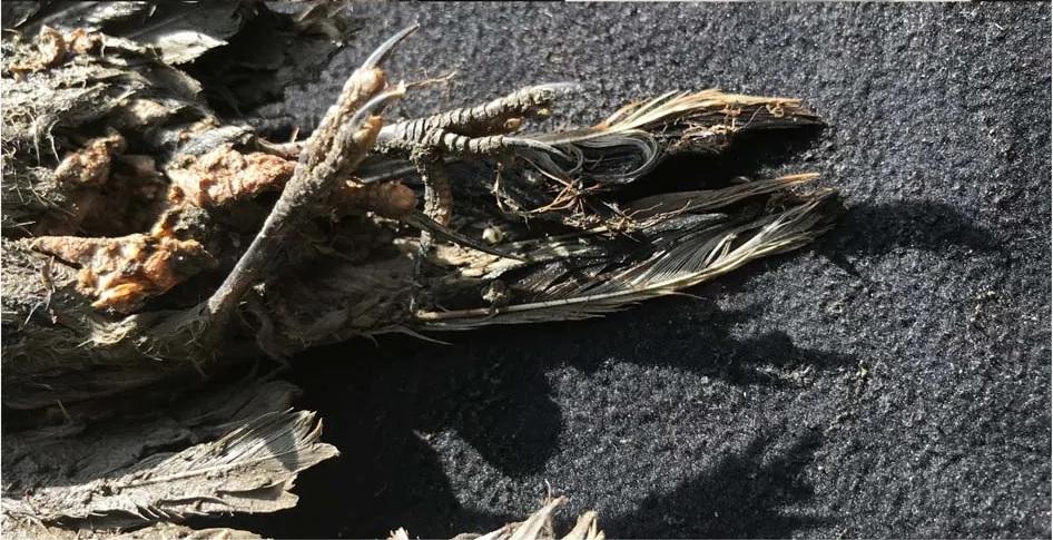 Na Syberii odkryto szczątki starożytnego ptaka z zachowanymi piórami, skórą, a nawet tkankami miękkimi