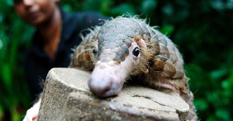 Nielegalny handel łuskowcami mógł przyczynić się do wybuchu epidemii wirusa SARS-CoV-2