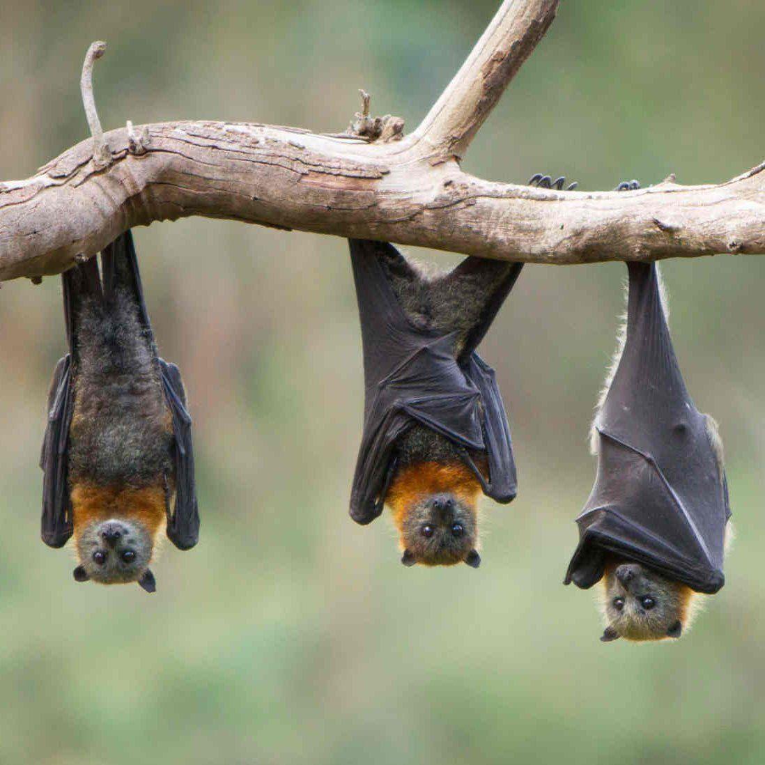 jak sikają nietoperze