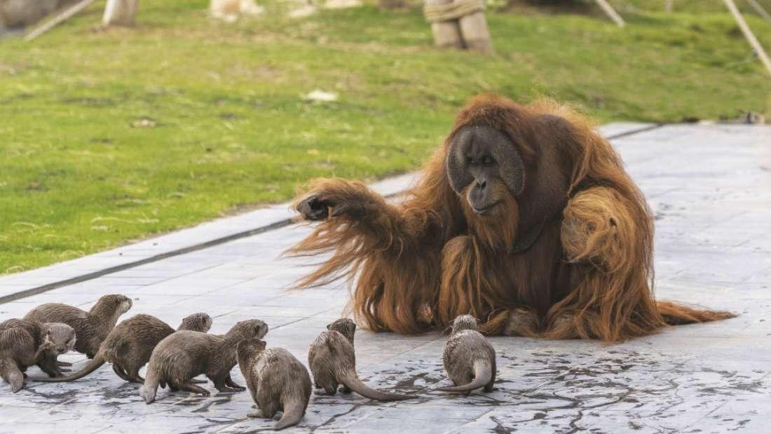 Urocza międzygatunkowa przyjaźń w zoo. Wydry odwiedzają orangutany, by spędzać z nimi czas