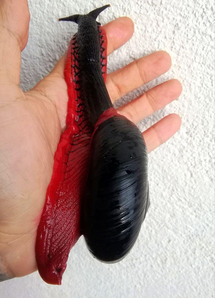 Ślimak Platymma tweediei to gatunek wyjątkowy. Kolory z pewnością zwracają uwagę