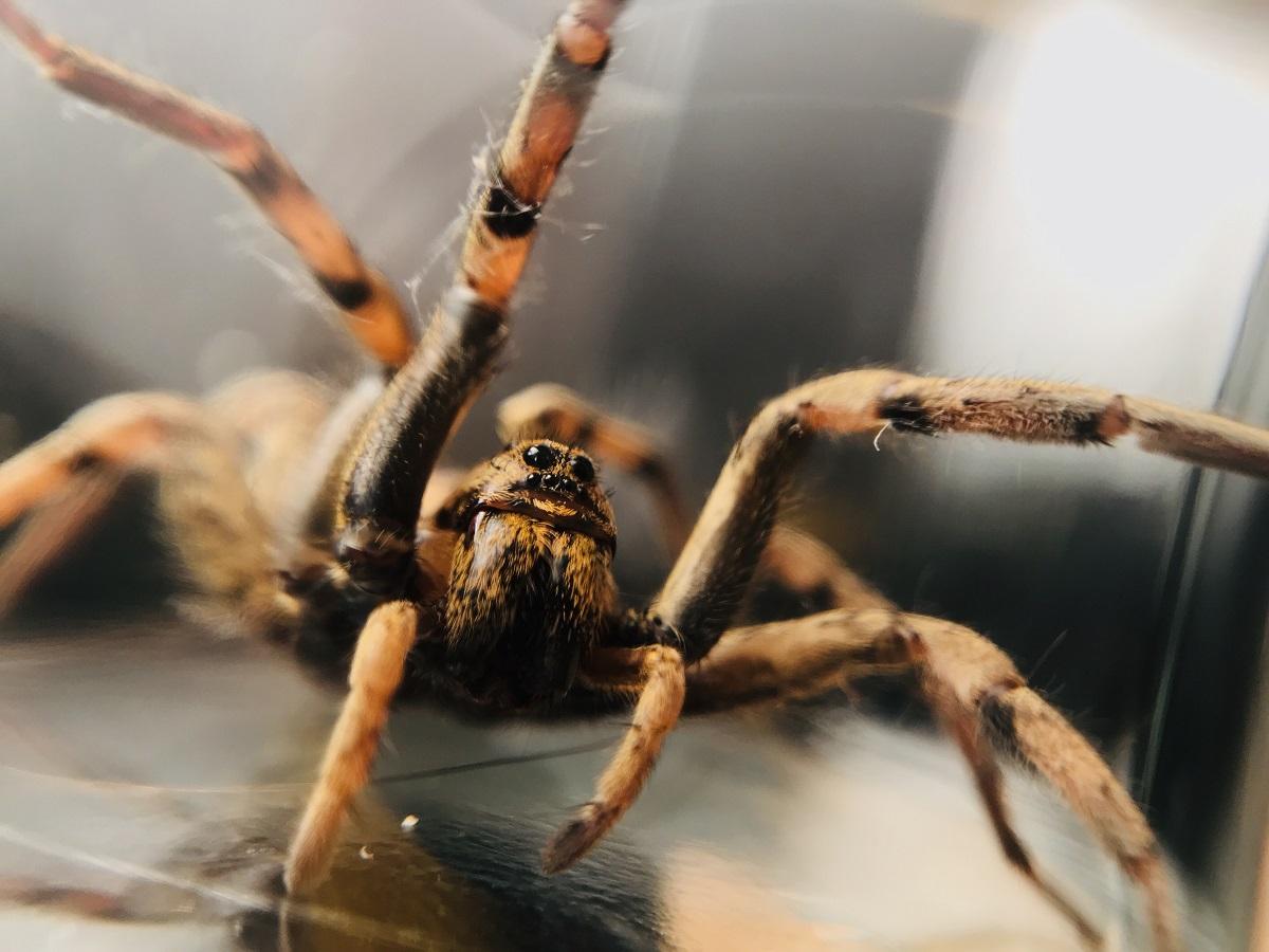 Naukowcy ostrzegają, że zmiany klimatu mogą doprowadzić do wyżu demograficznego pająków