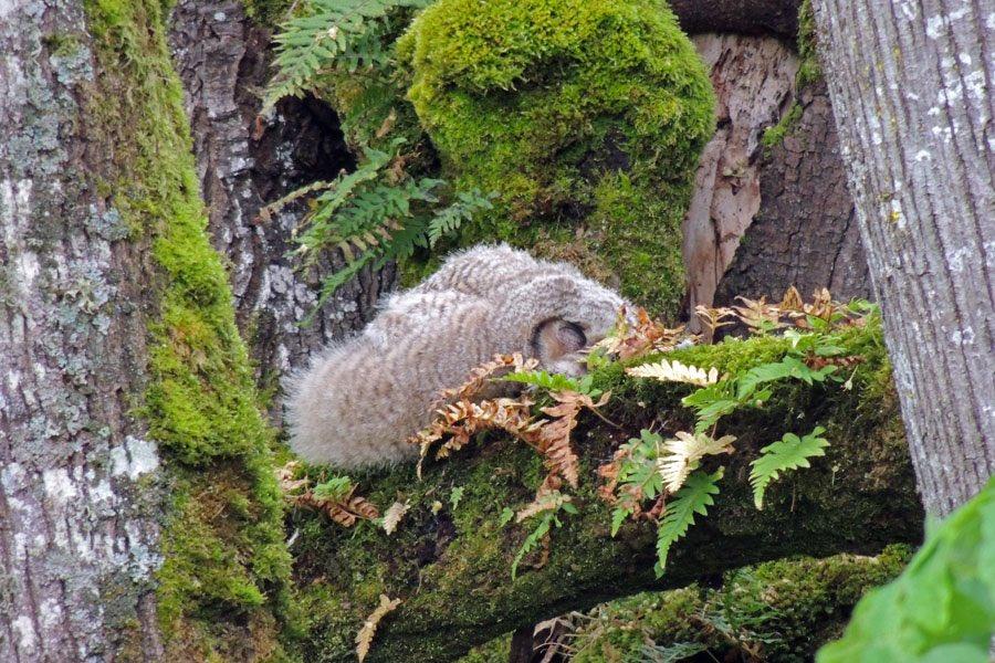 Okazuje się, że młode sowy rzeczywiście ucinają sobie krótkie drzemki w dziwacznych pozycjach