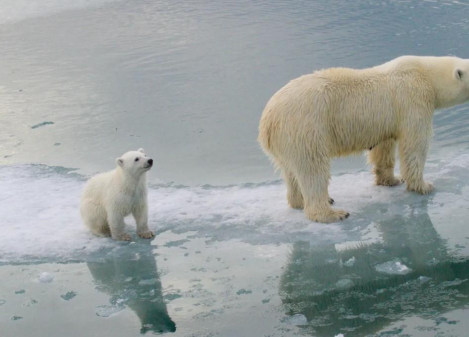 Topniejący lód morski i brak pożywienia może doprowadzić niedźwiedzie polarne do wyginięcia
