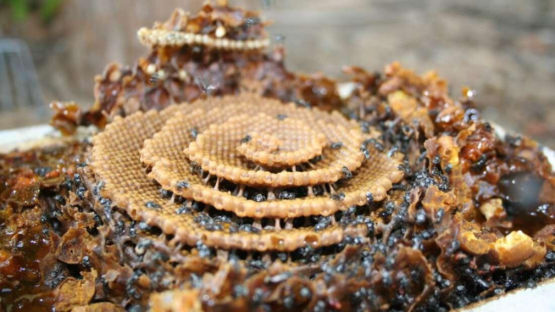 Gatunek australijskich pszczół buduje fenomenalne gniazda w kształcie spirali, które zachwycają