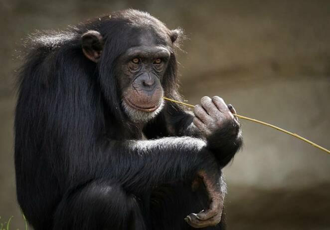 10 mrocznych faktów o szympansach. Nie są takie milutkie jak nam się wydaje
