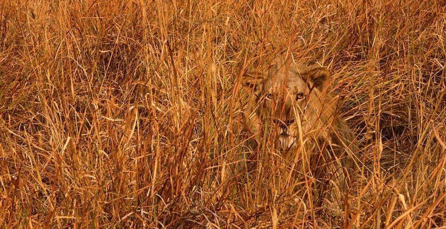 Naukowcy malują oczy na zadach bydła w Afryce, by zniechęcić drapieżniki do ataku