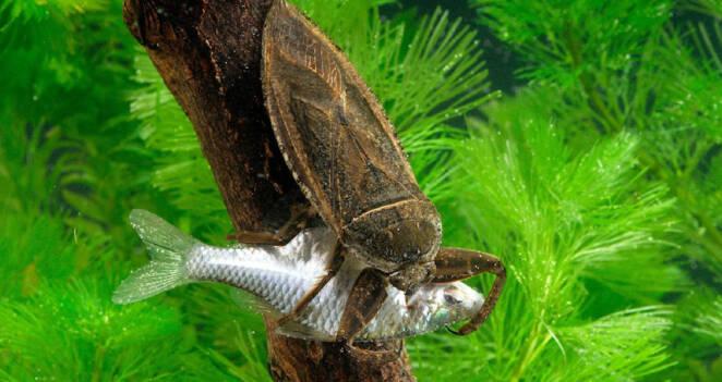 Poznaj gigantycznego robaka wodnego. Jego ugryzienie należy do jednego z najbardziej bolesnych