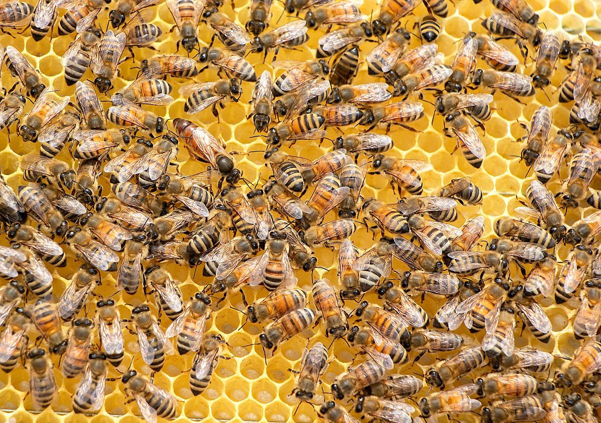 Jad pszczeli okazuje się niezwykle skuteczny w zabijaniu agresywnych komórek raka piersi