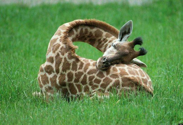 Internet zwariował na punkcie żyrafy podskakującej do pół szpagatu, by poskubać trawę