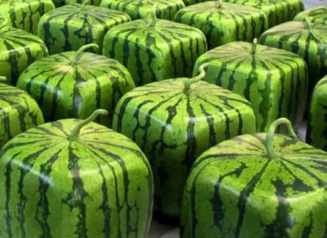 Skąd biorą się kwadratowe arbuzy? Wcale nie są wynikiem mutacji genetycznych