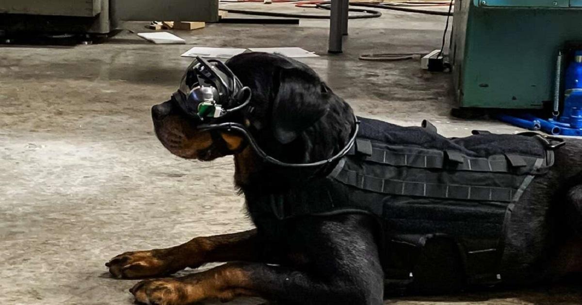 Amerykańska armia testuje rozszerzoną rzeczywistość na psach ratunkowych