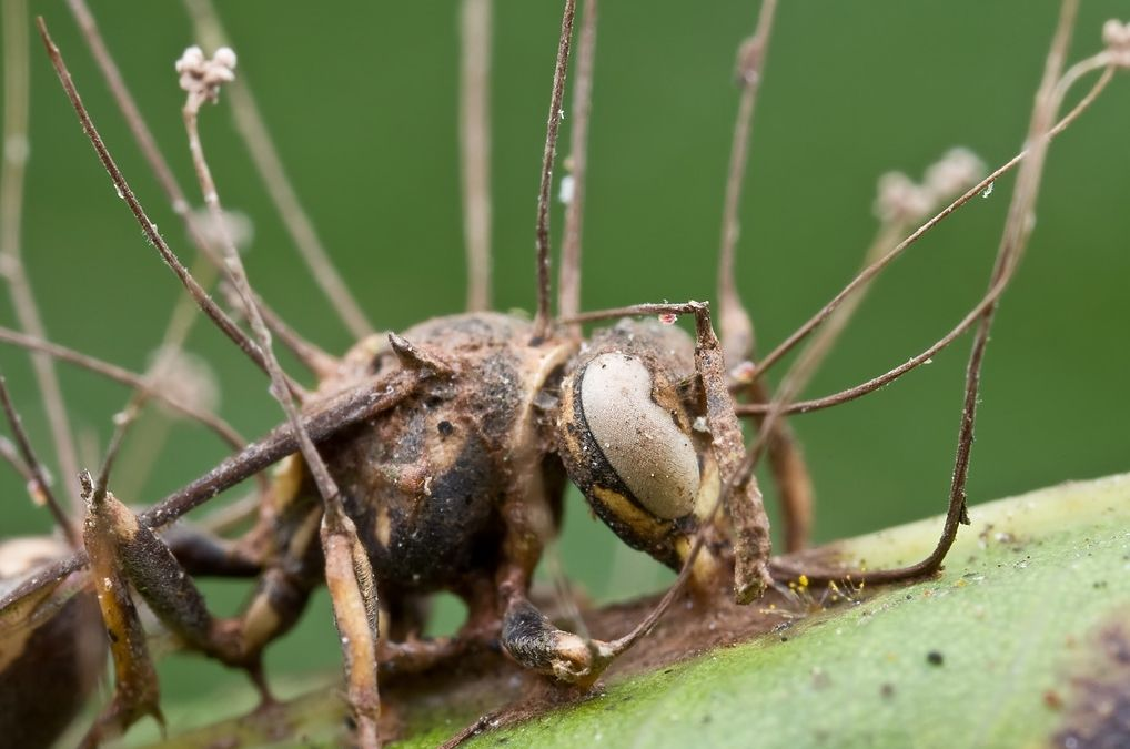 Pasożytniczy grzyb przejmuje ciała mrówek i zamienia je w zombie
