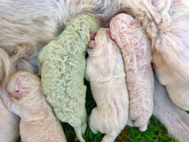 Oto Pistacja, szczeniak, który na świat przyszedł z futrem w kolorze zielonym