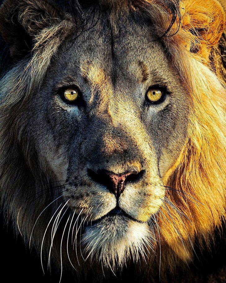 Fotograf na zdjęciach uwiecznił piękno białych lwów. Pod każdym kątem prezentują się majestatycznie
