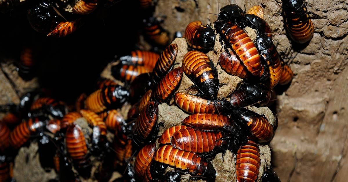 Czy karaluchy rzeczywiście są w stanie przetrwać eksplozję atomową?